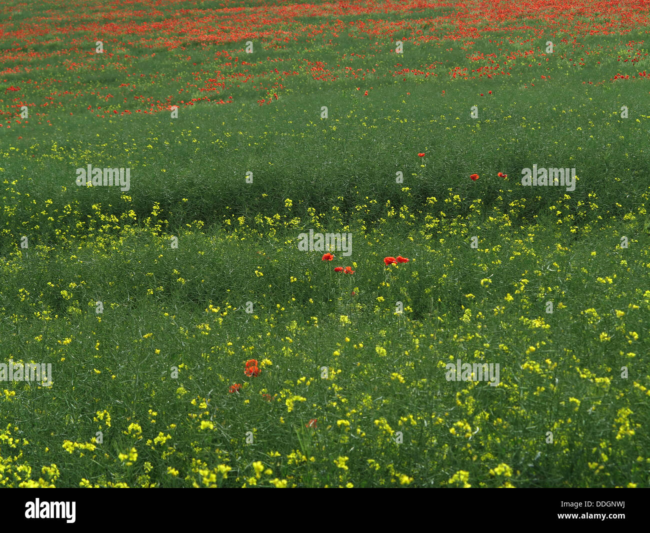 Field with rapeseed flowers and poppies - Strawberryfield farm campsite - Durham - England - UK - Stock Image