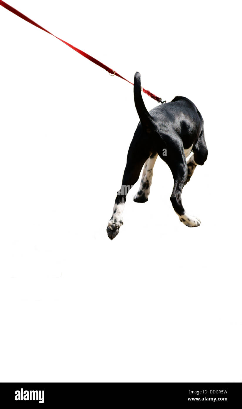 Dog on a leash - Stock Image