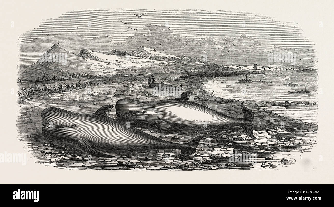SHOAL OF WHALES IN THE SOLWAY FIRTH, 1855 - Stock Image