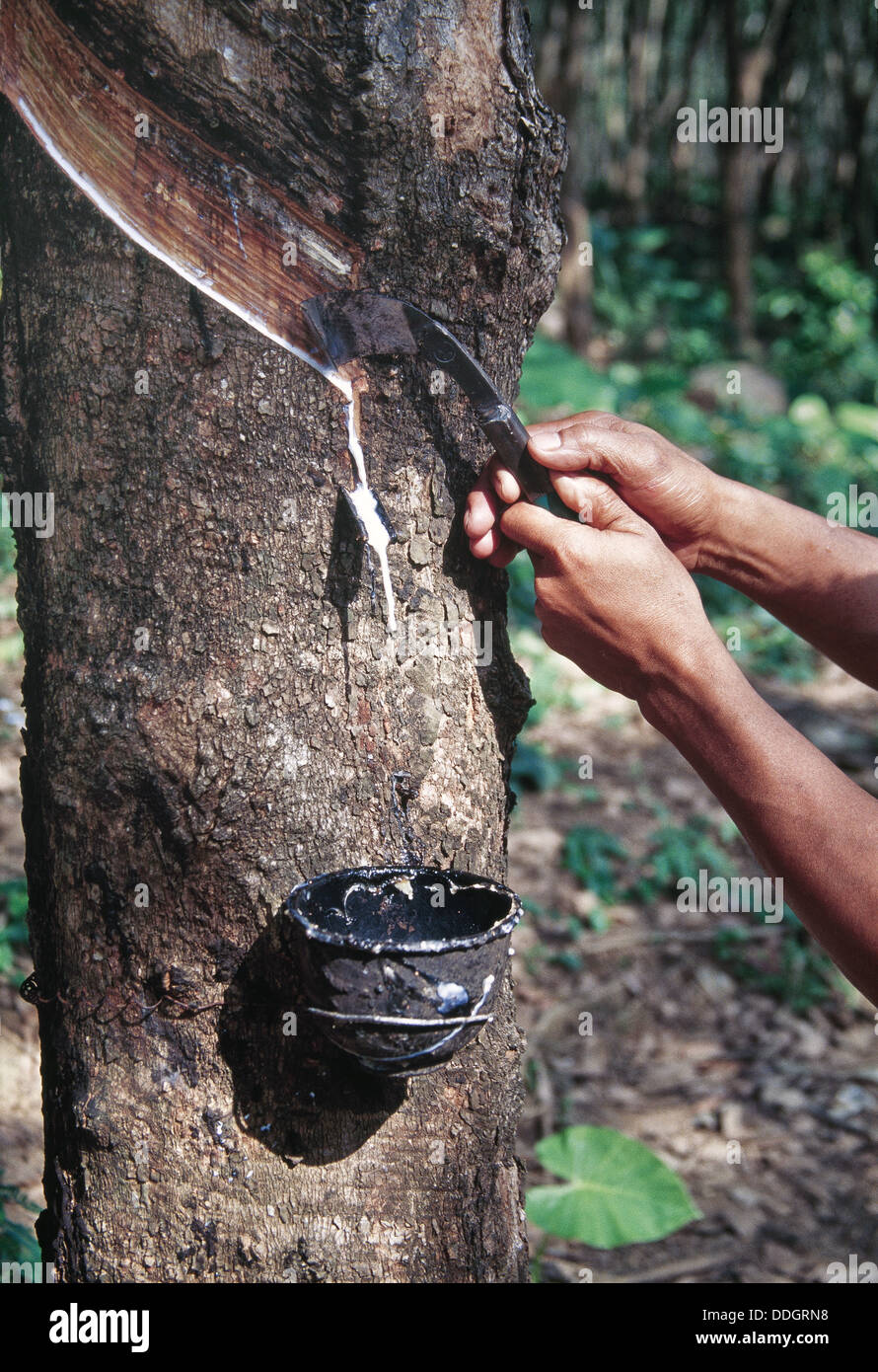 Hands using gouge scoring bark of Para 'rubber' tree to extract latex. - Stock Image