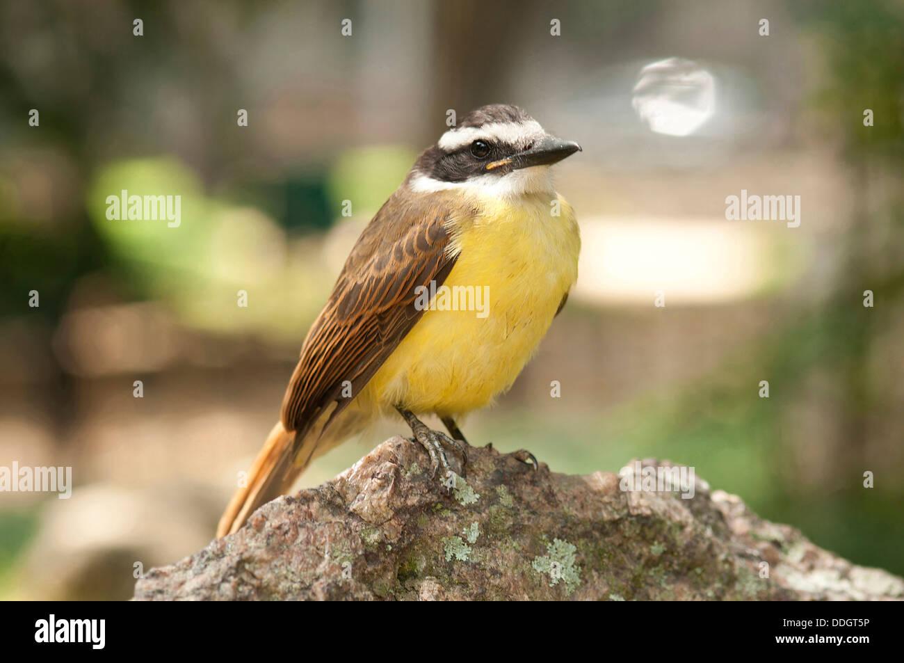 The Great Kiskadee (Pitangus sulphuratus) is a passerine bird. It is a large tyrant flycatcher; sometimes its genus - Stock Image
