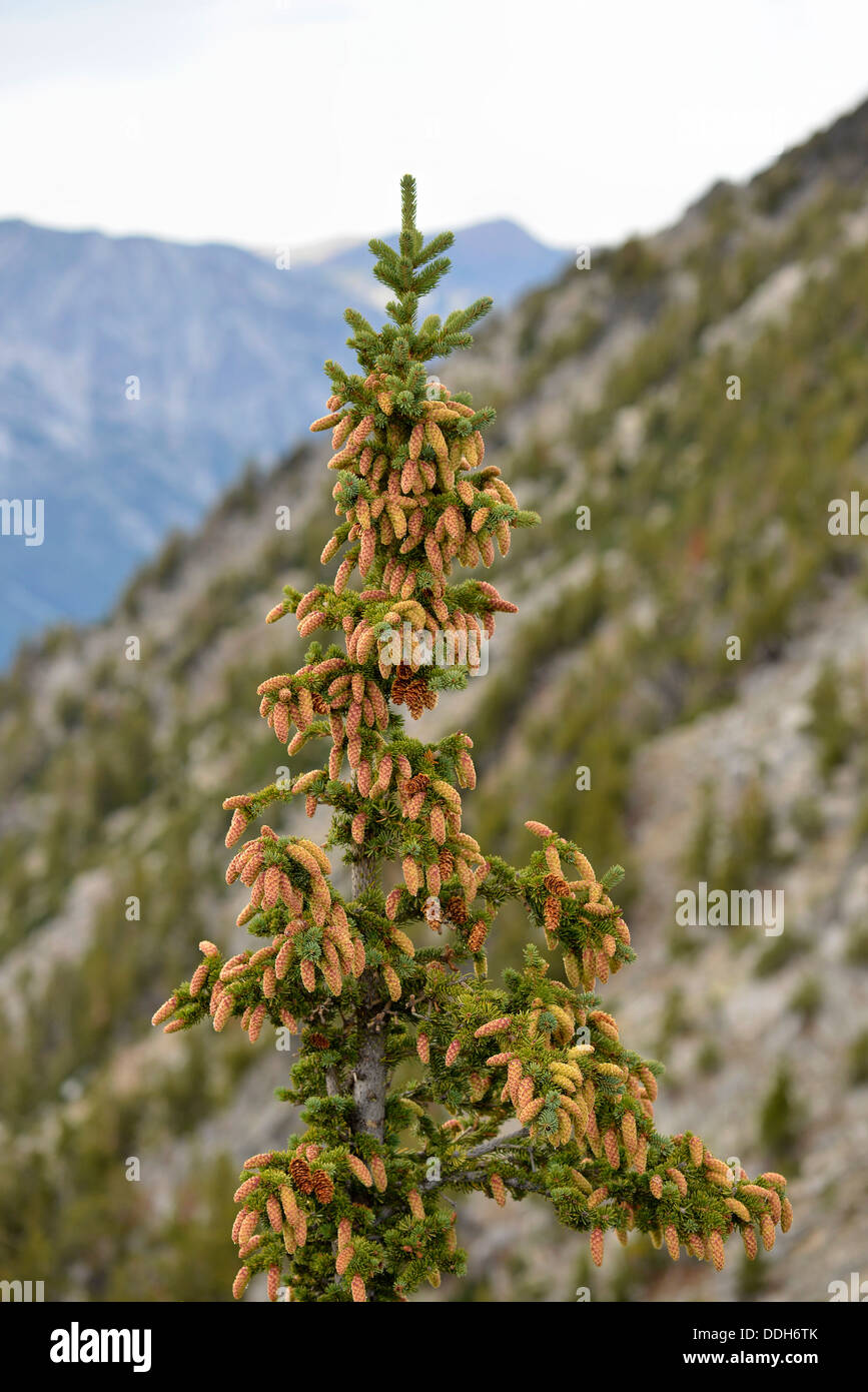 Cone laden fir tree high in Oregon's Wallowa Mountains. - Stock Image