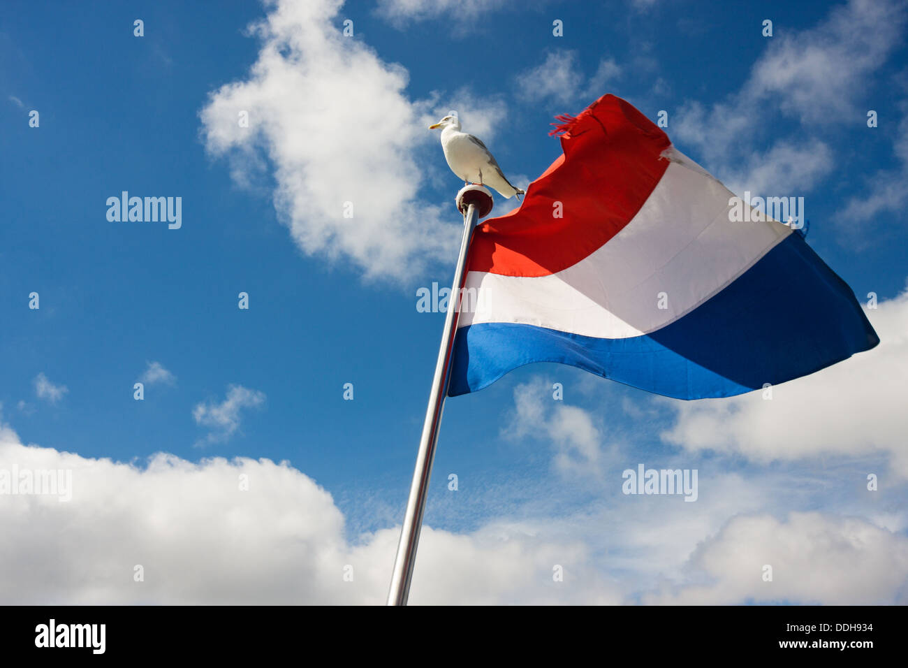 Seagull on flagpole with dutch flag - Stock Image