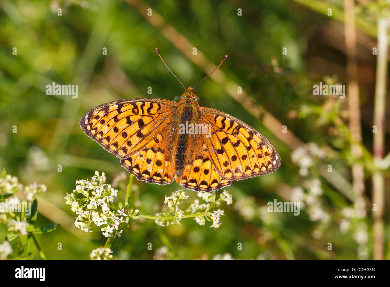 Dark Green Fritillary (Argynnis aglaja) perched on a meadow plant with outstretched wings - Stock Image
