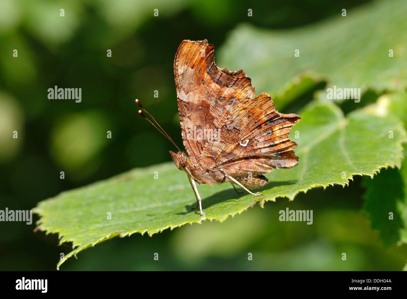 Comma butterfly (Polygonia c-album, Syn: Nymphalis c-album) perched on a leaf - Stock Image