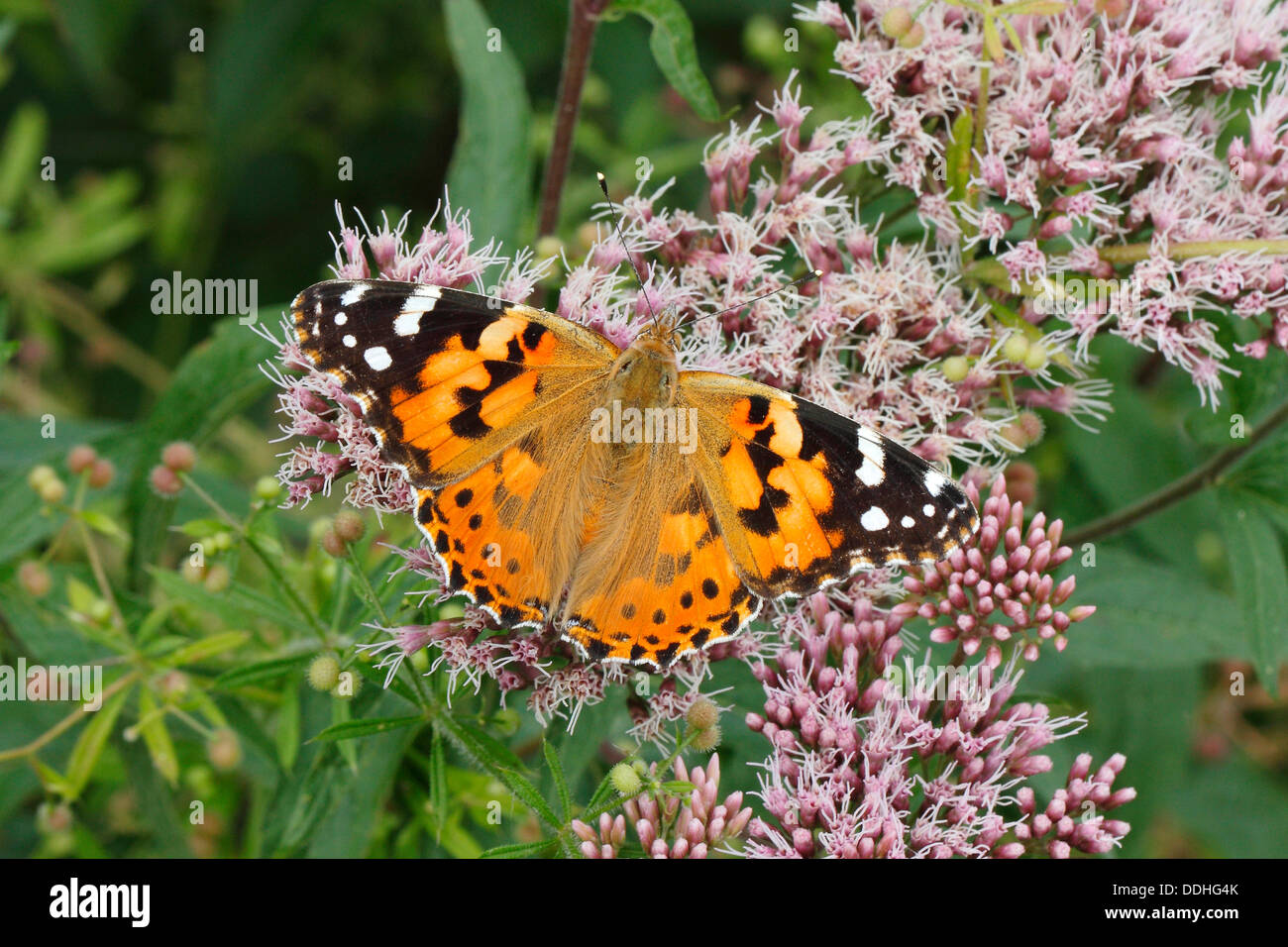 Painted Lady (Vanessa cardui, Cynthia cardui) perched on wild majoram - Stock Image