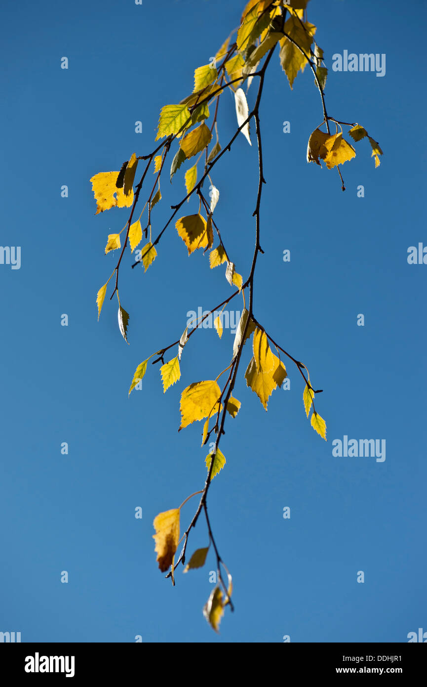 Birch twig in autumn apparel against a clear blue sky - Stock Image