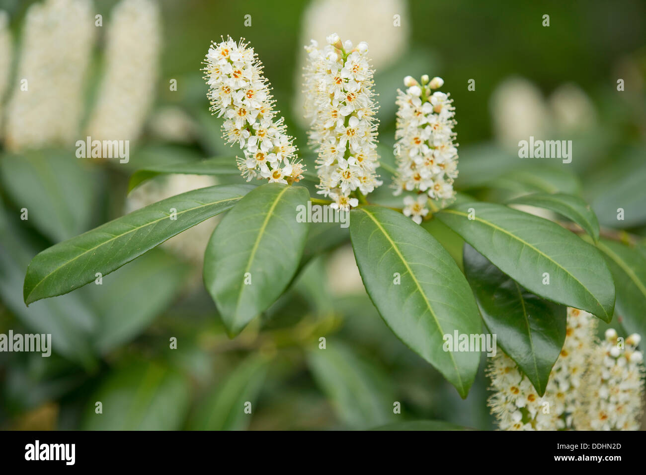 Cherry Laurel or Common Laurel (Prunus laurocerasus, Laurocerasus officinalis) flowers and leaves, ornamental shrub, native to - Stock Image