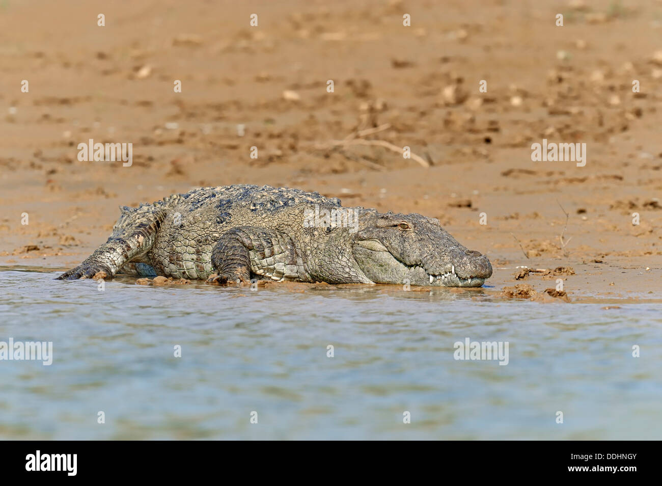 Mugger Crocodiles Stock Photos and Images