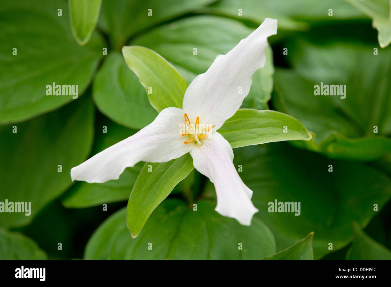 White Trillium Flowers Blooming On Stock Photos White Trillium