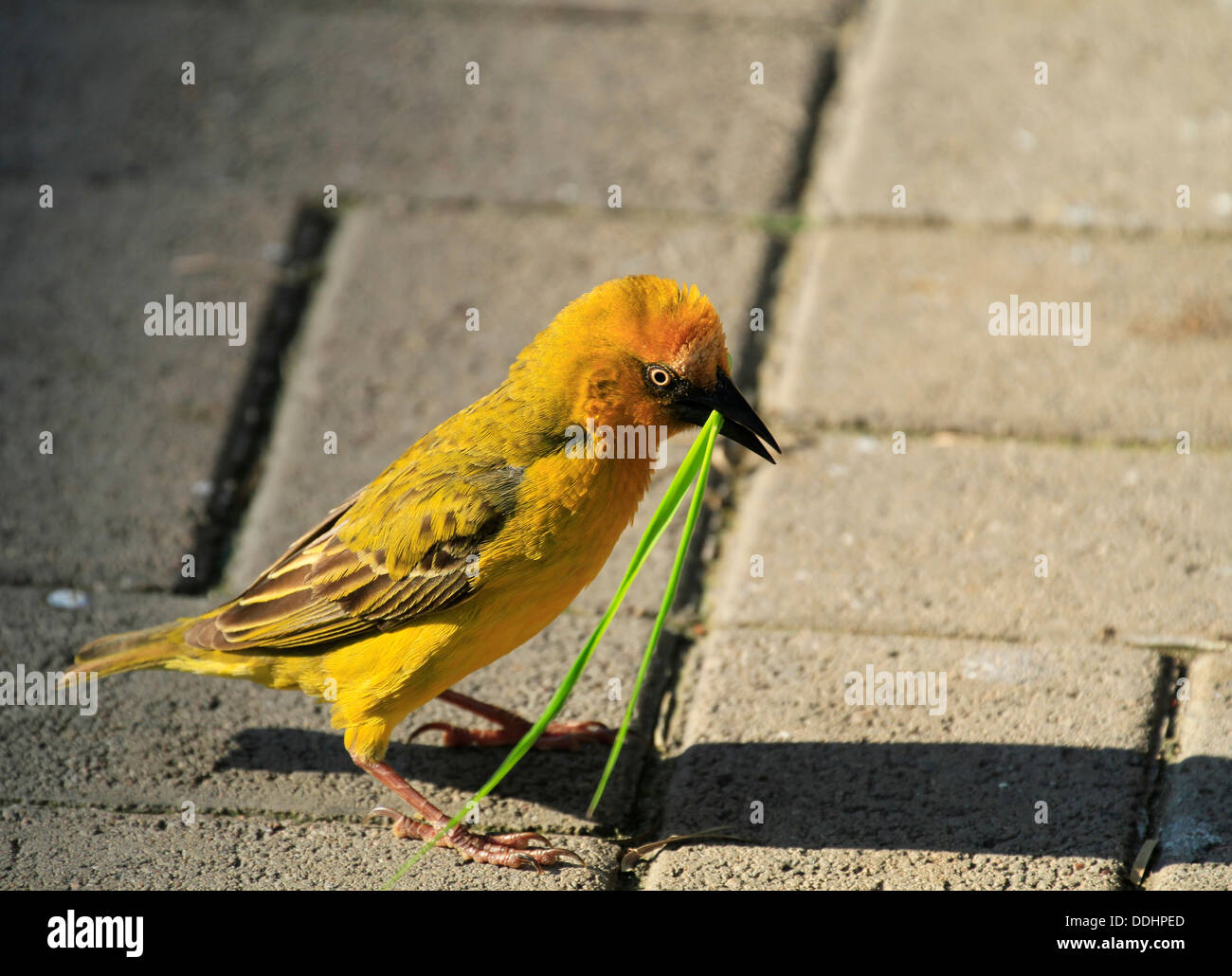 A male Cape Weaver (Ploceus capensis) gathering grass to build his nest at the  restaurant   in the West Coast National Park. - Stock Image