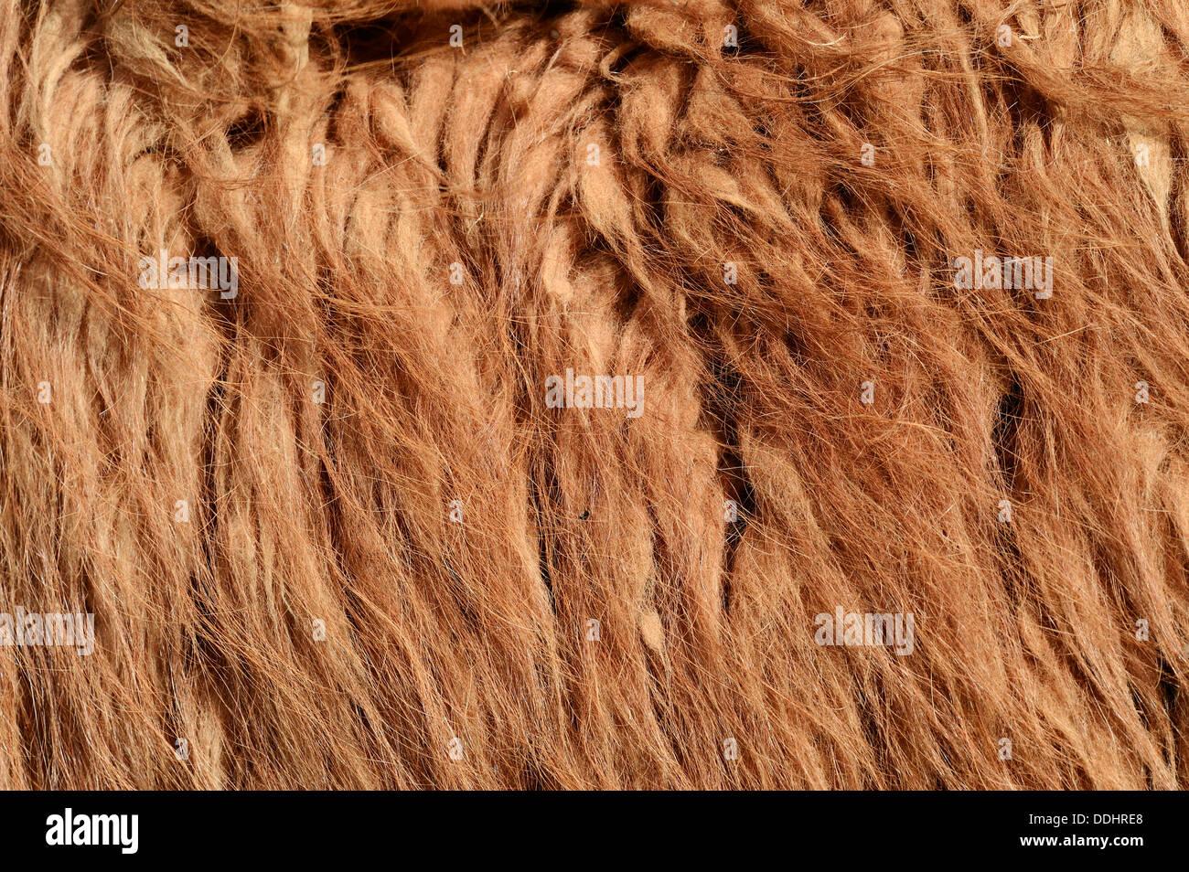 Llama (Lama glama), fur detail, native to South America, captive - Stock Image
