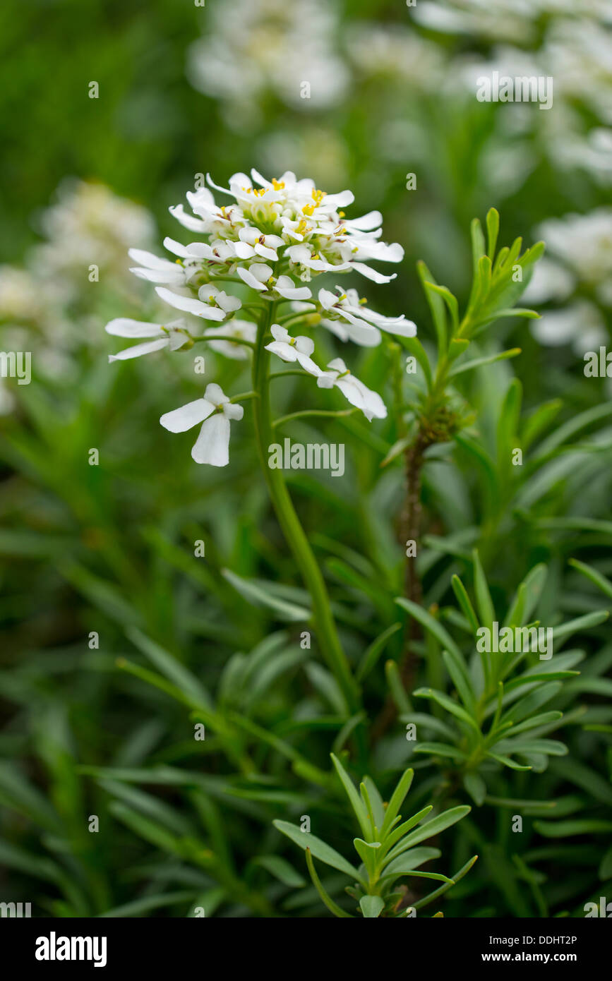 Evergreen candytuft iberis sempervirens flowers and for Iberis sempervirens