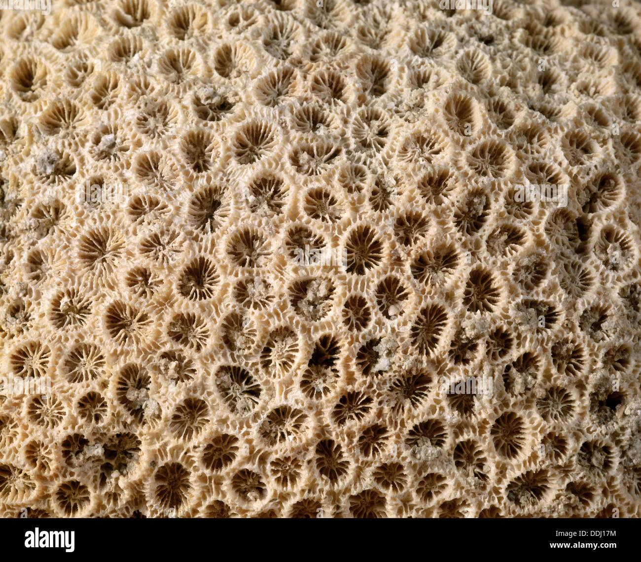 Anthozoa fossil.  Orbicella. Pliocene. Diameter: Polypus 9 mm. Marsa Alam. Egypt. - Stock Image