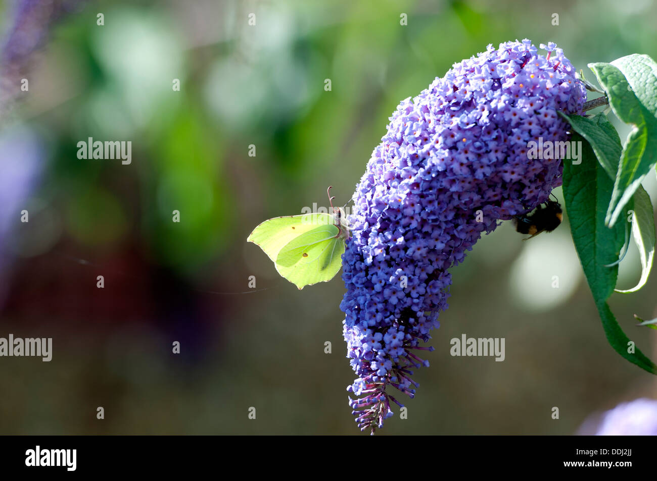 Brimstone (Gonepteryx rhamni) butterfly on Buddleia bush Stock Photo