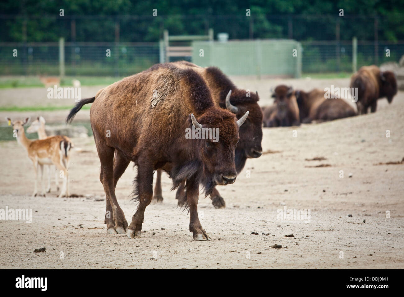 Bisons walk at the African Safari Wildlife Park in Port Clinton, Ohio - Stock Image