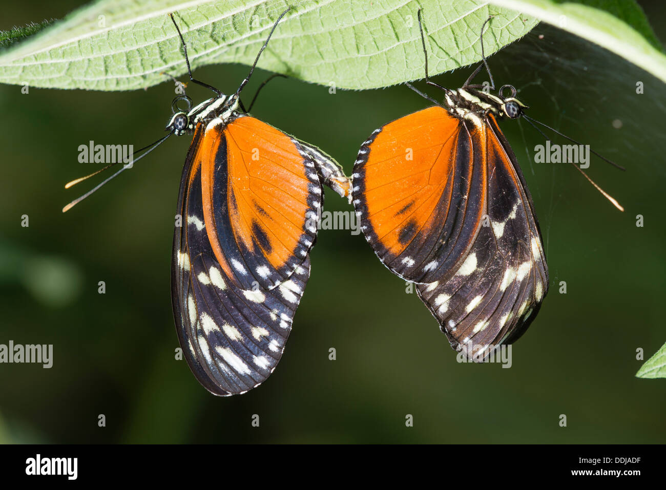 A pair of Tiger Longwings mating - Stock Image