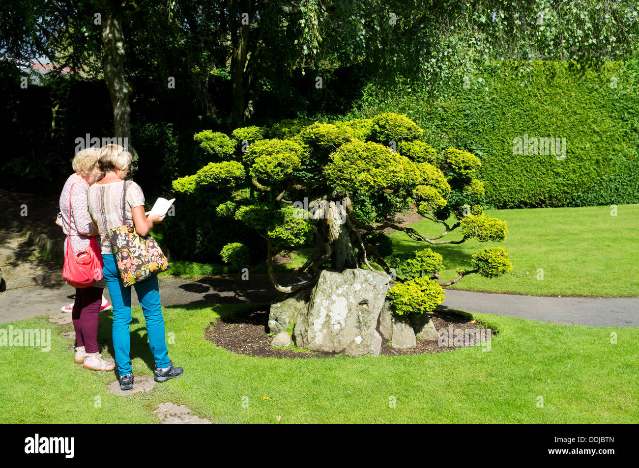 Tourists consult a guide book at the Japanese gardens, Kildare. Chamaecyparis obtusa, aurea tree next to them. Ireland. - Stock Image