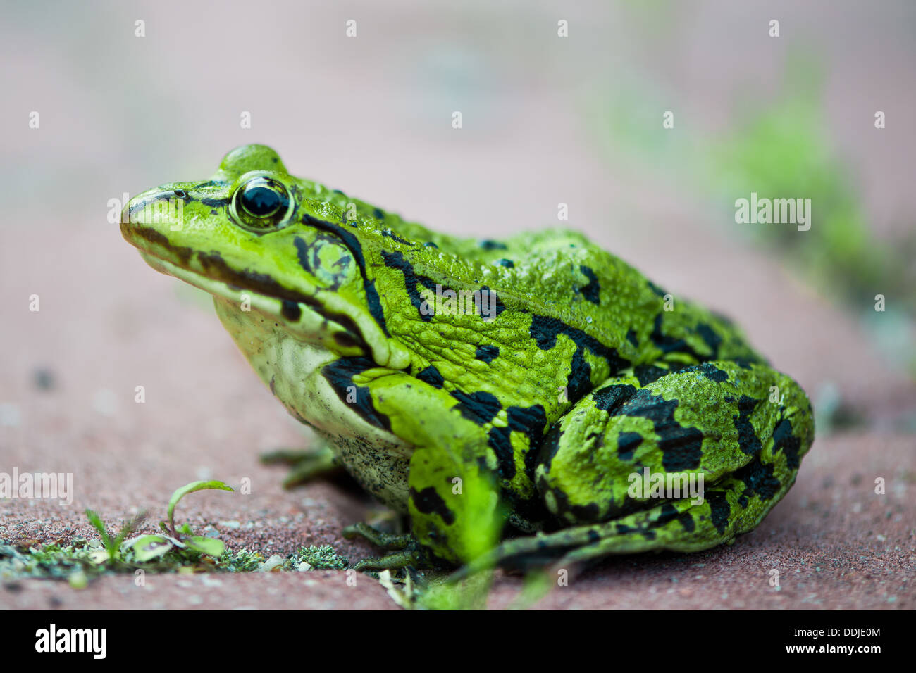 close up to frog Pelophylax lessonae - Stock Image