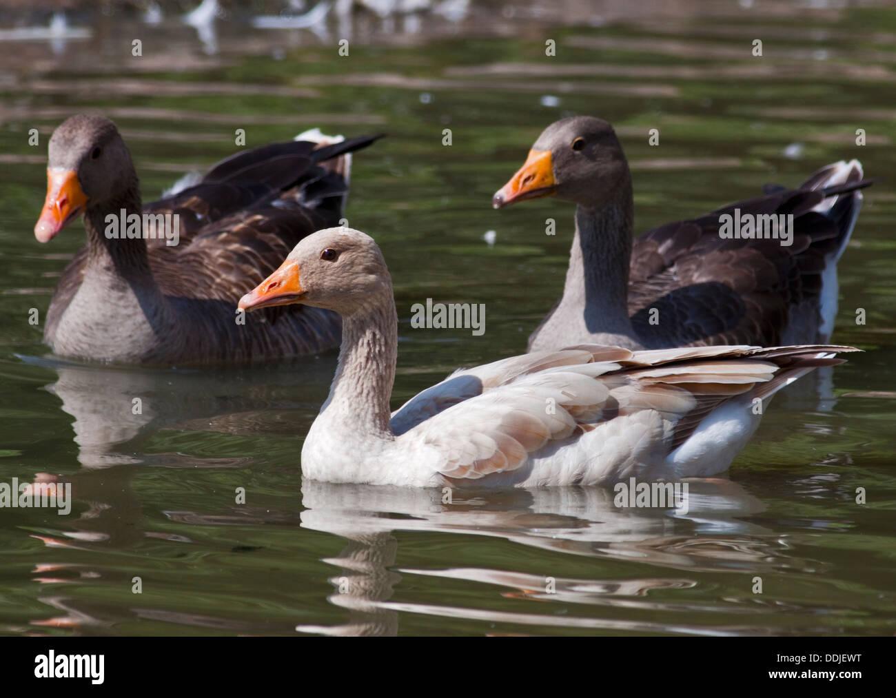 Greylag Geese (anser anser) including one Leucistic Variant - Stock Image