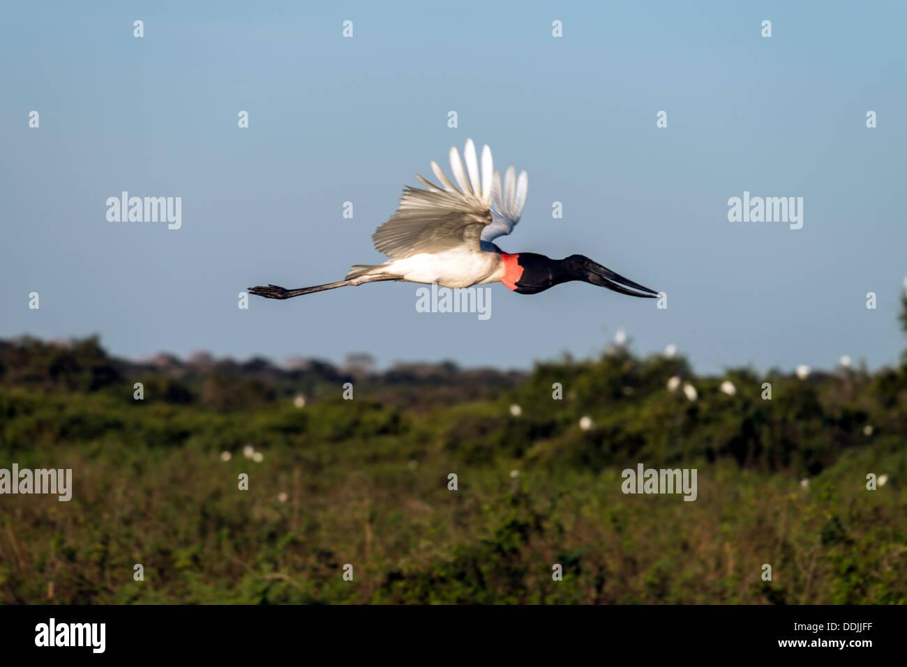 Jabiru stork Jabiru mycteria birds in flight Pantanal Mato Grosso Brazil South America - Stock Image