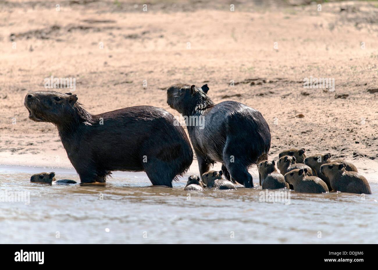 Family of Capybara (Hydrochoerus hydrochaeris) in the Three Brothers river Porto Jofre Pantanal Mato Grosso Brazil Stock Photo