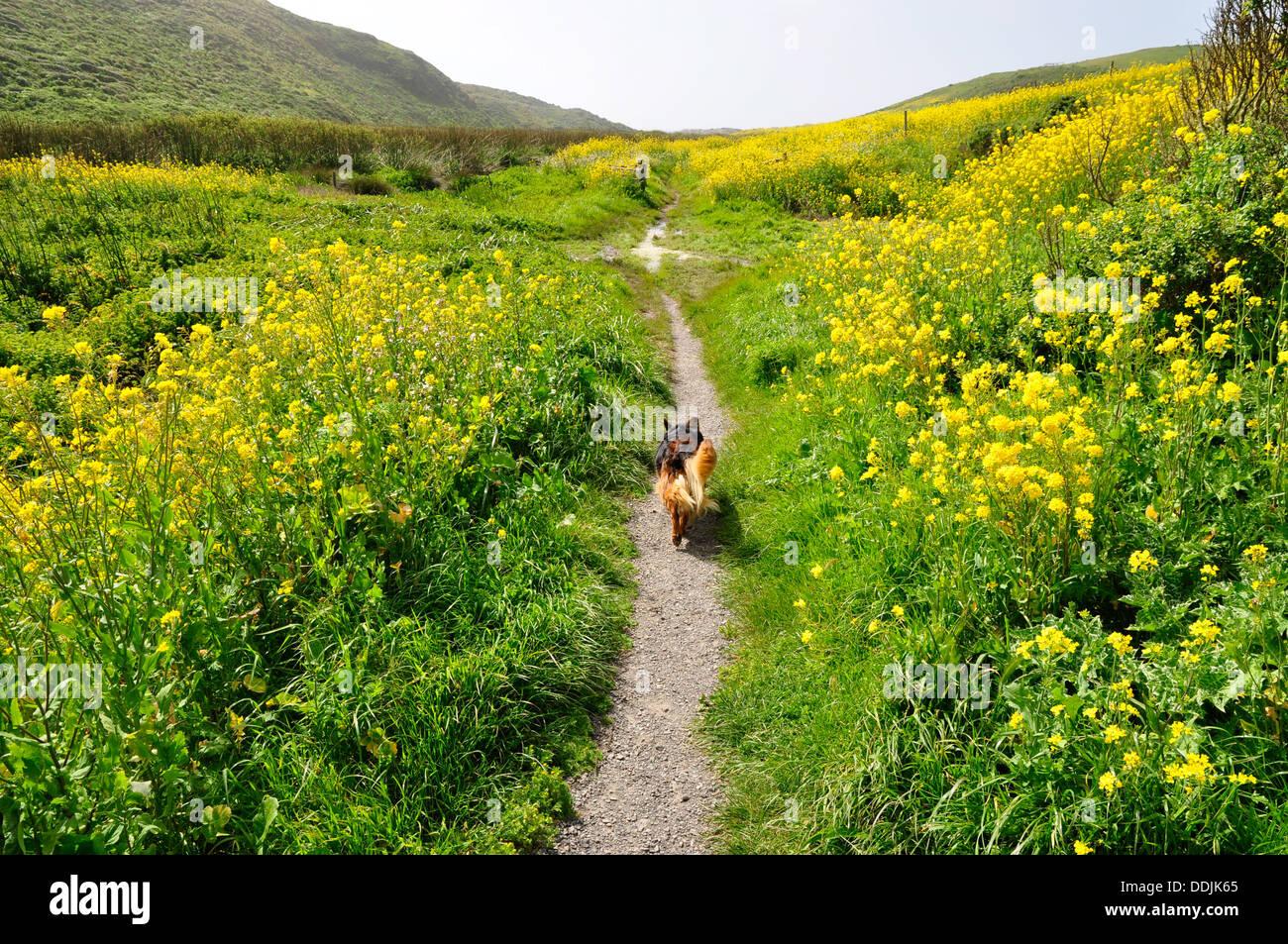 Dog walking on path in Pt Reyes National Seashore - Stock Image