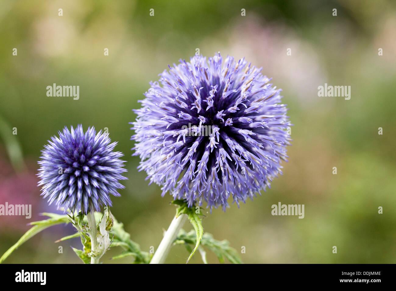 Echinops bannaticus 'Taplow Blue'. Globe thistle flower. - Stock Image