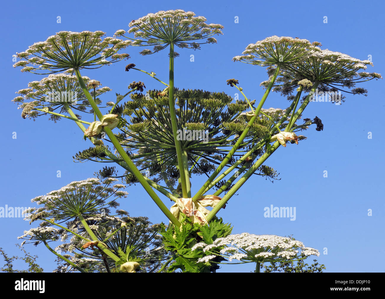 Giant hog Weed, Cow Parsley, Cheshire , England - Stock Image