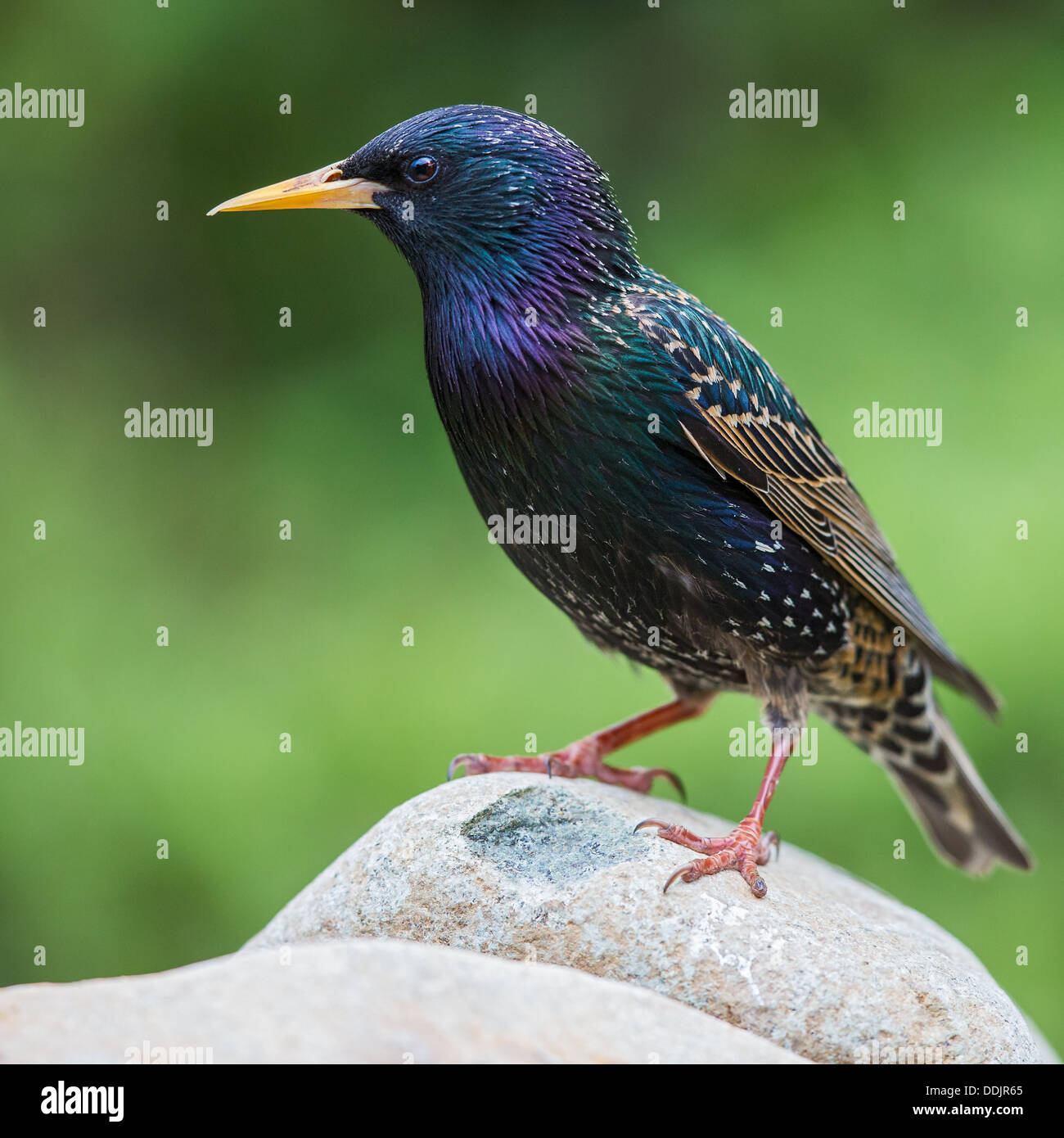 Common starling (sturnus vulgaris) standing on a rock, side view - Stock Image