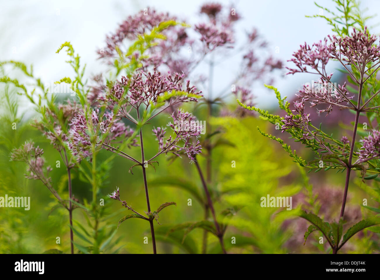 Joe-Pye Weed (Eutrochium) growing in a meadow - Stock Image