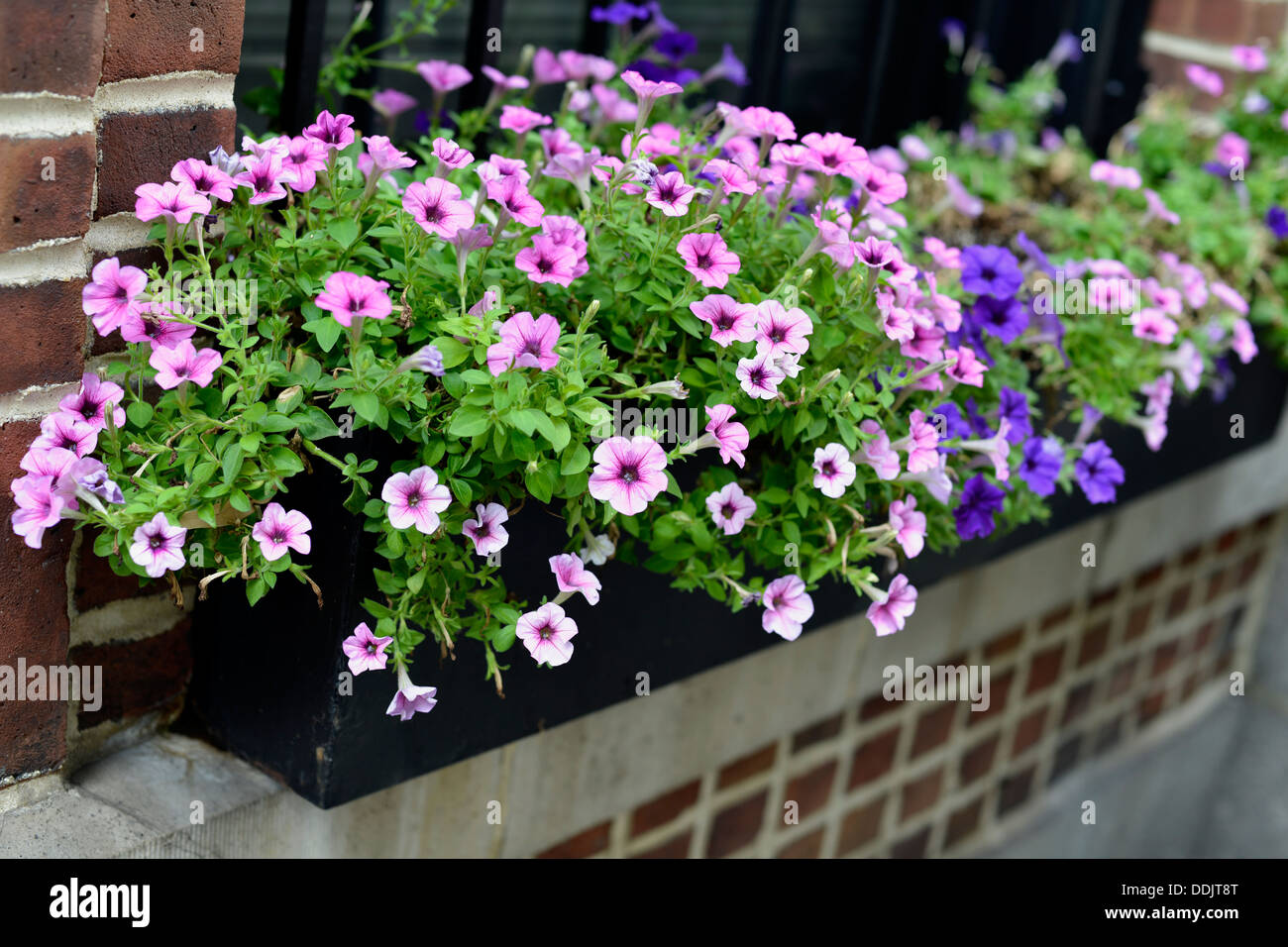 Window Ledge Outdoor Flower Box, Filled with Pink and Purple Small Flowers - Stock Image