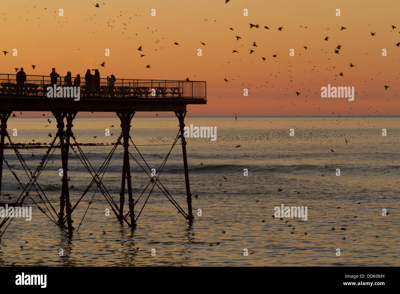 Common Starling (Sturnus vulgaris) flock in flight and roosting on the pier at sunset. Aberystwyth, Ceredigion, Stock Photo