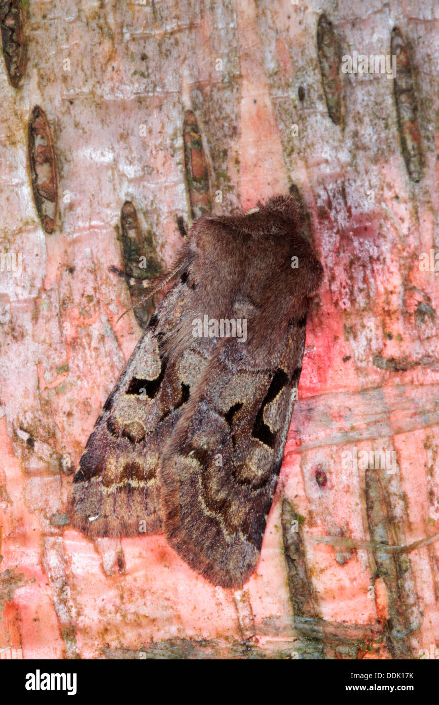 Hebrew Character moth (Orthosia gothica) resting on birch bark. Powys, Wales. April. - Stock Image