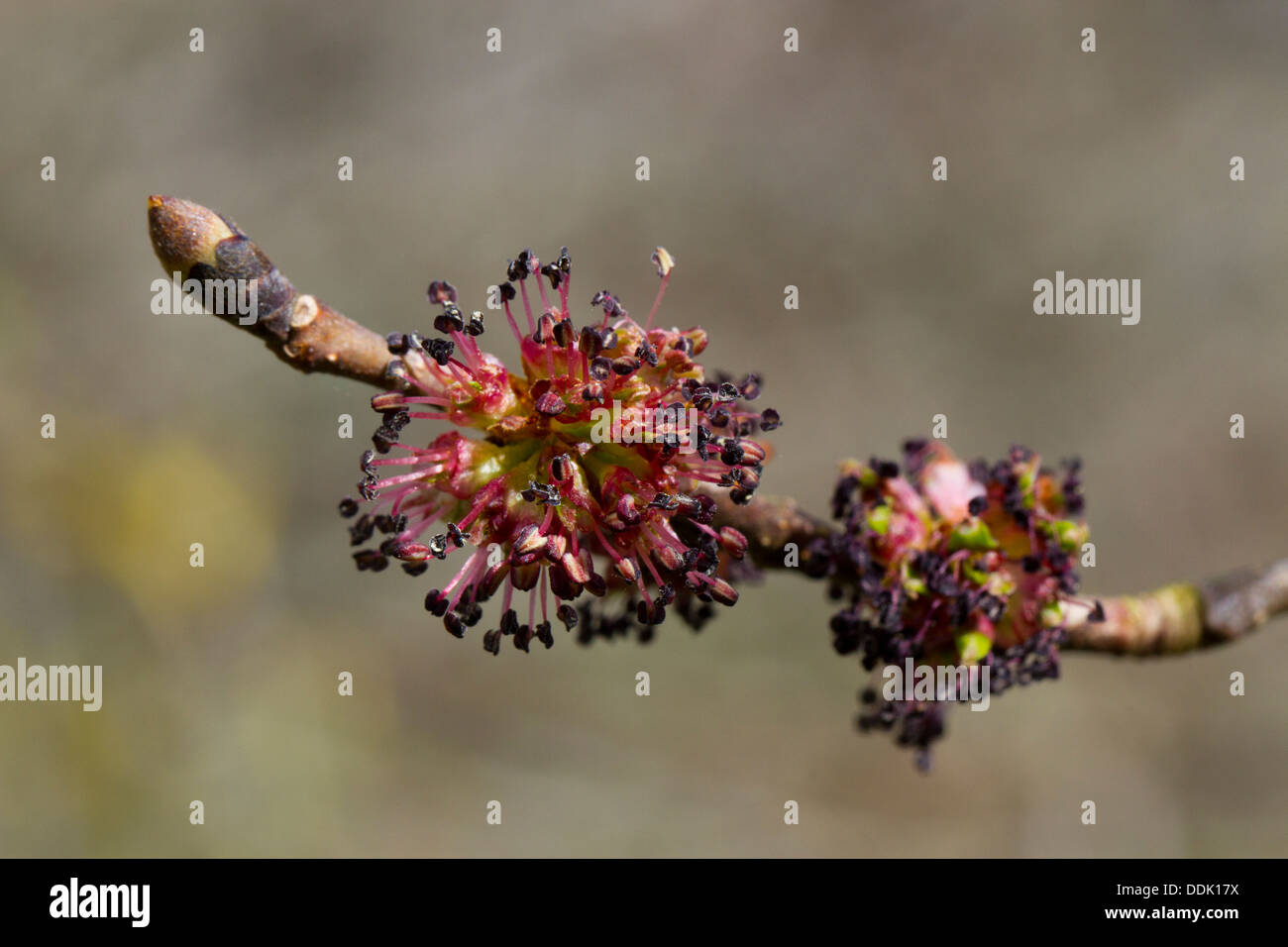 Wych Elm (Ulmus glabra) close-up of female flowers on a shoot. Powys, Wales. April. - Stock Image
