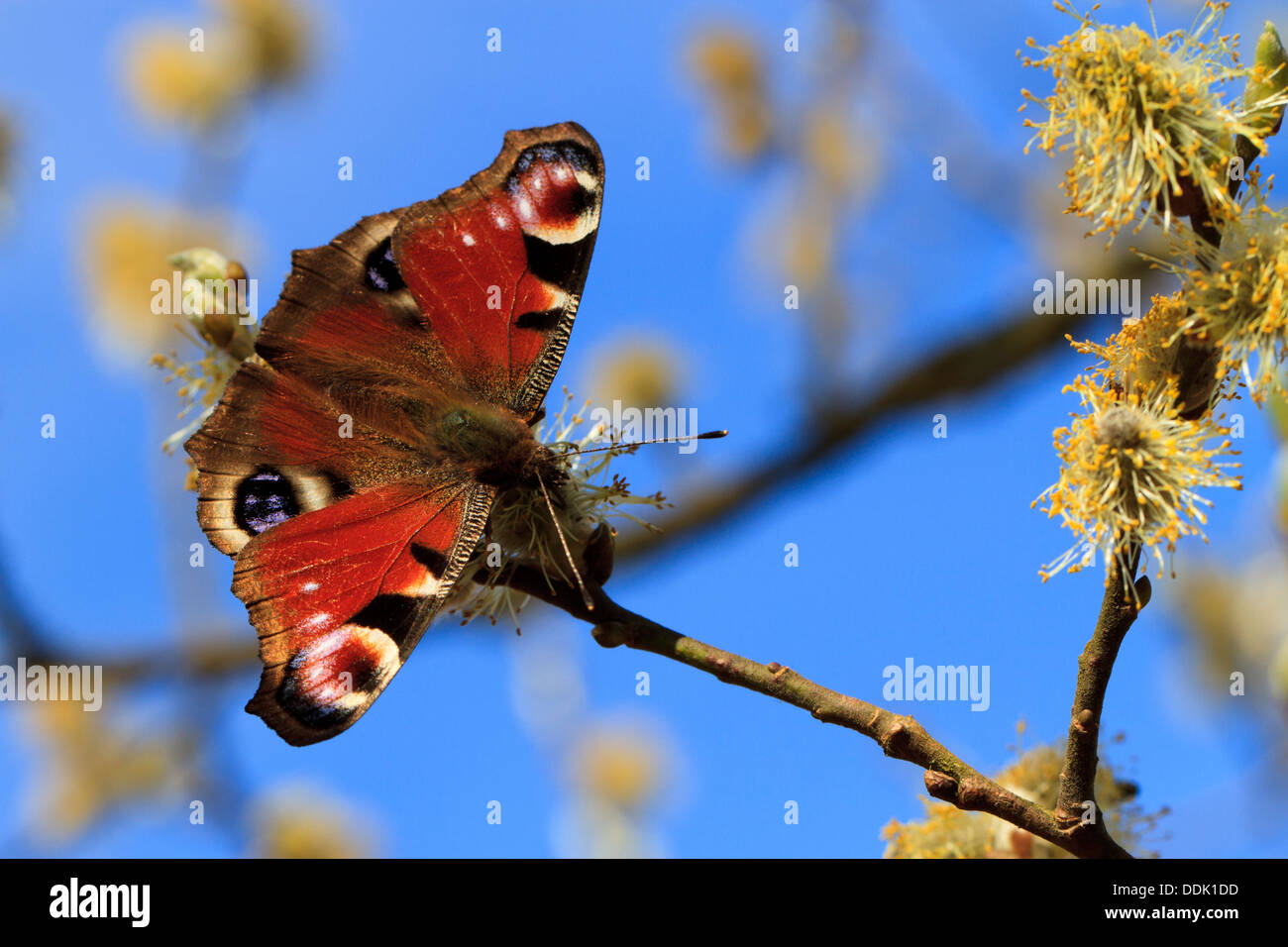 Peacock butterfly (Aglais io) feeding on Sallow flowers in Spring. Powys, Wales. April. - Stock Image