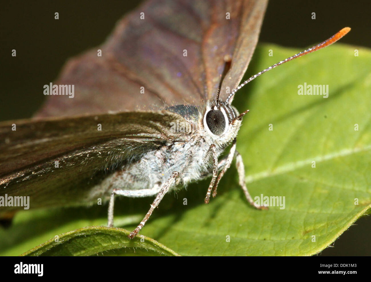 Purple Hairstreak Butterfly (Favonius quercus) foraging and posing on a leaf - Stock Image