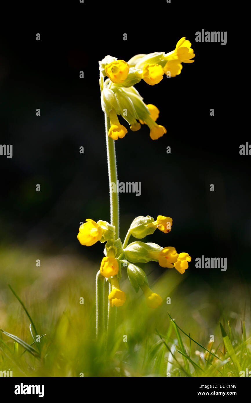Cowslip (Primula veris) flowering on downland. Near Alfriston, East Sussex. May. Stock Photo