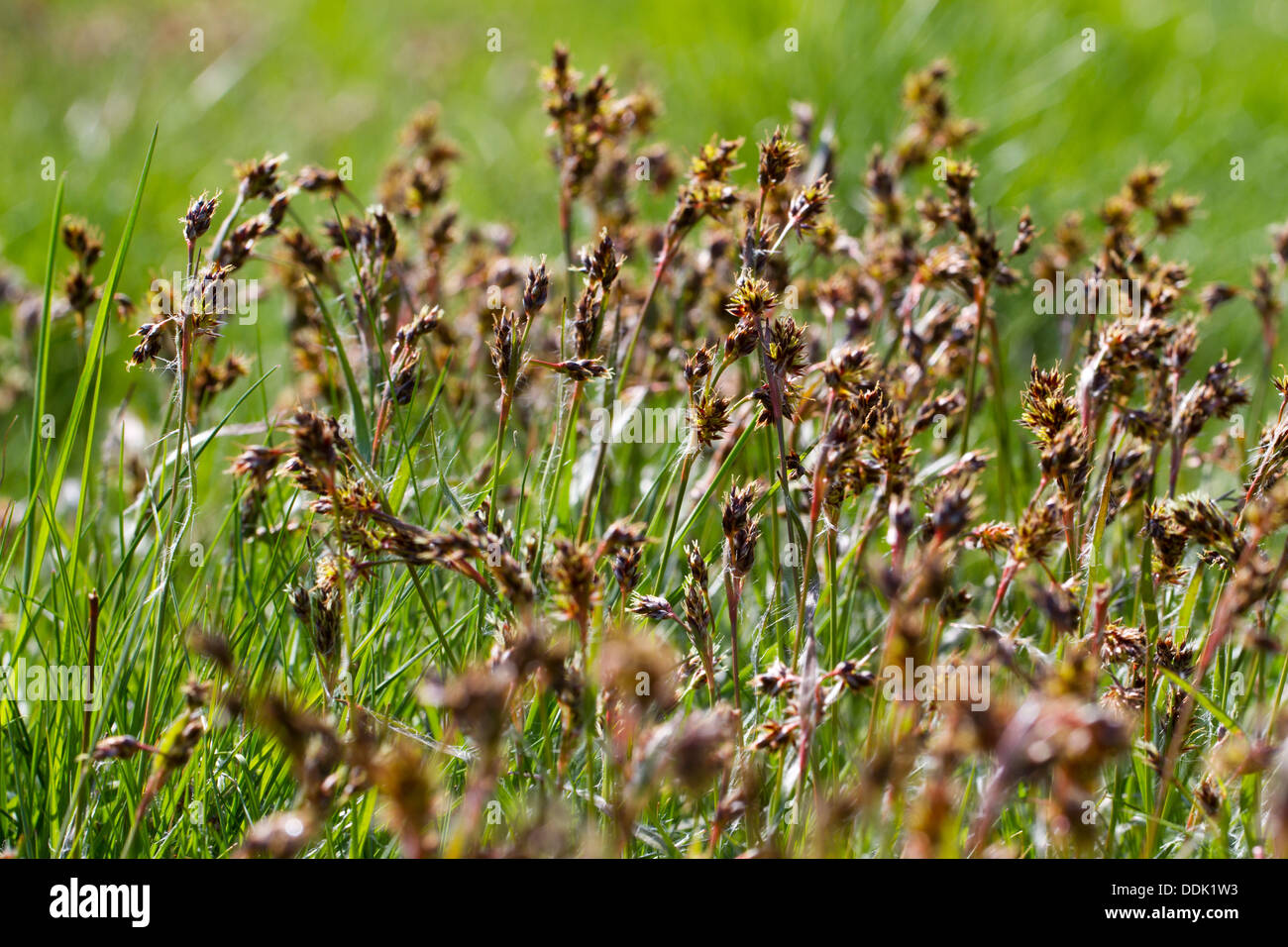 Field Woodrush (Luzula campestris) flowering in grassland. Powys, Wales. May. - Stock Image
