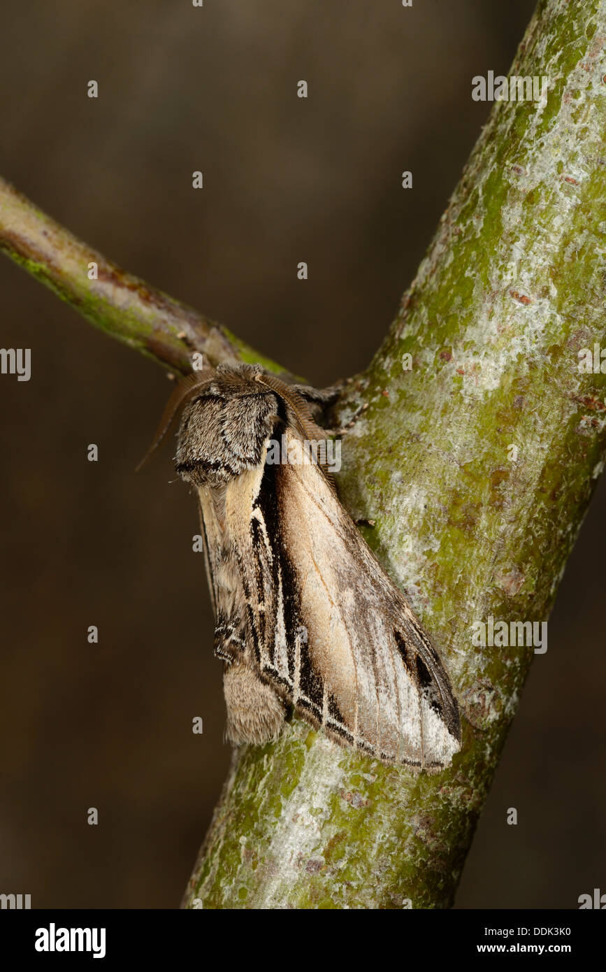 Swallow Prominent Moth (Pherosia tremula) adult male at rest on twig, Oxfordshire, England, July - Stock Image