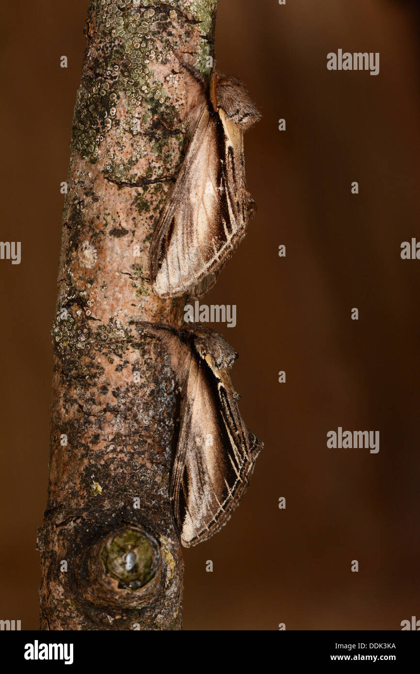 Swallow Prominent Moth (Pheosia tremula) two adults at rest on branch, Oxfordshire, England, August - Stock Image