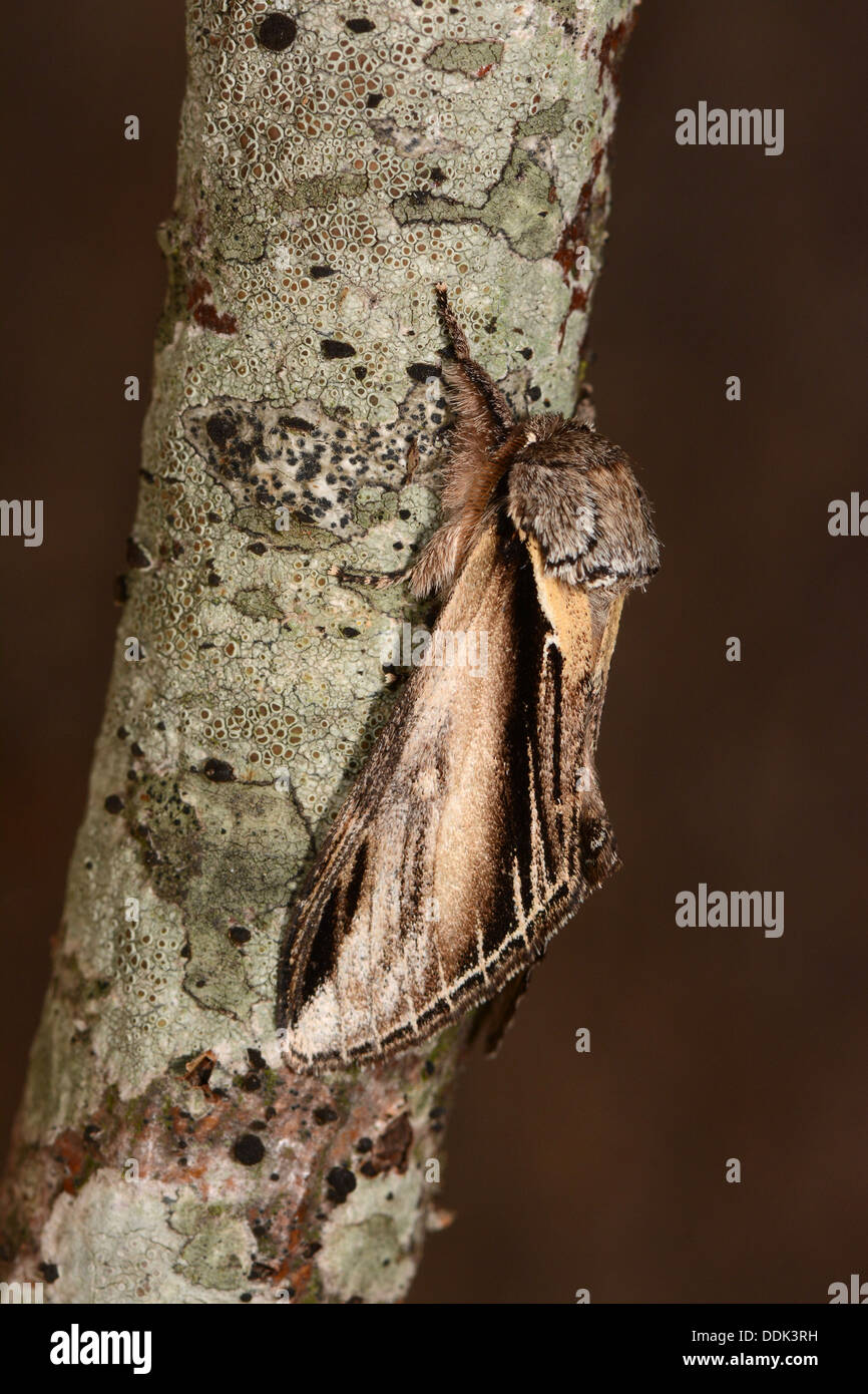 Swallow Prominent Moth (Pheosia tremula) adult at rest on branch, Oxfordshire, England, August - Stock Image