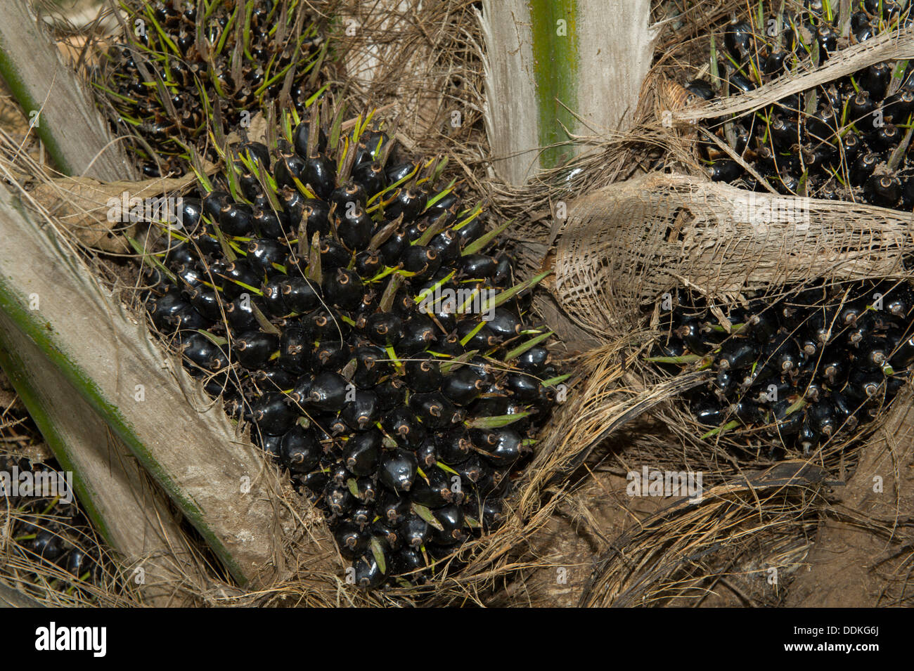 Fruit of oil palms, Nigeria - Stock Image