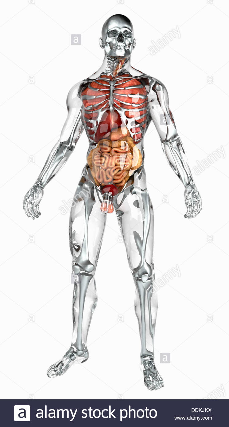 Man Anatomy Internal Organs Stock Photos & Man Anatomy Internal ...