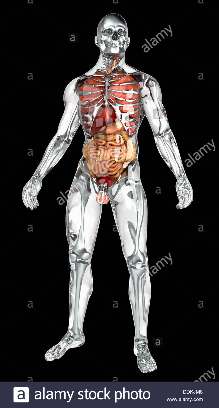 Human organs in transparent anatomical model Stock Photo: 60053400 ...