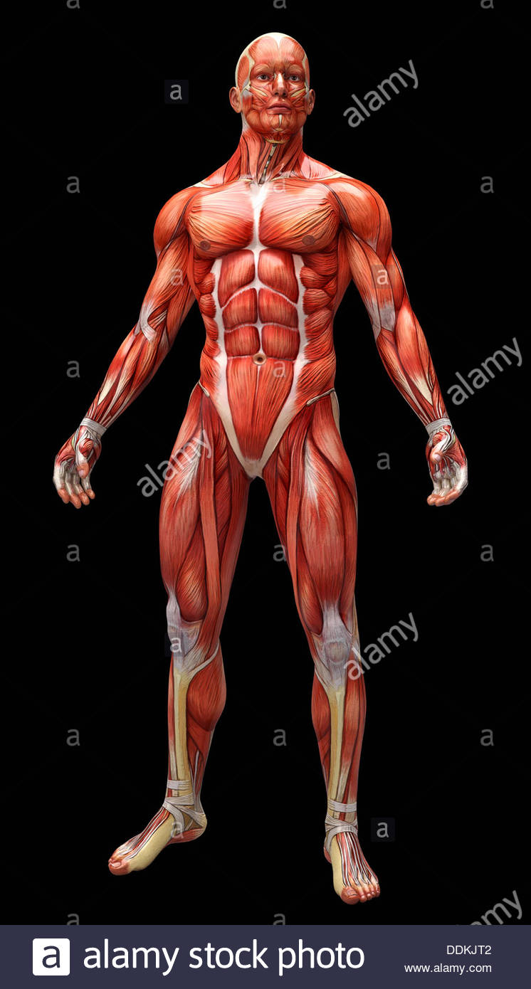 Human muscles and tendons covering anatomical model - Stock Image