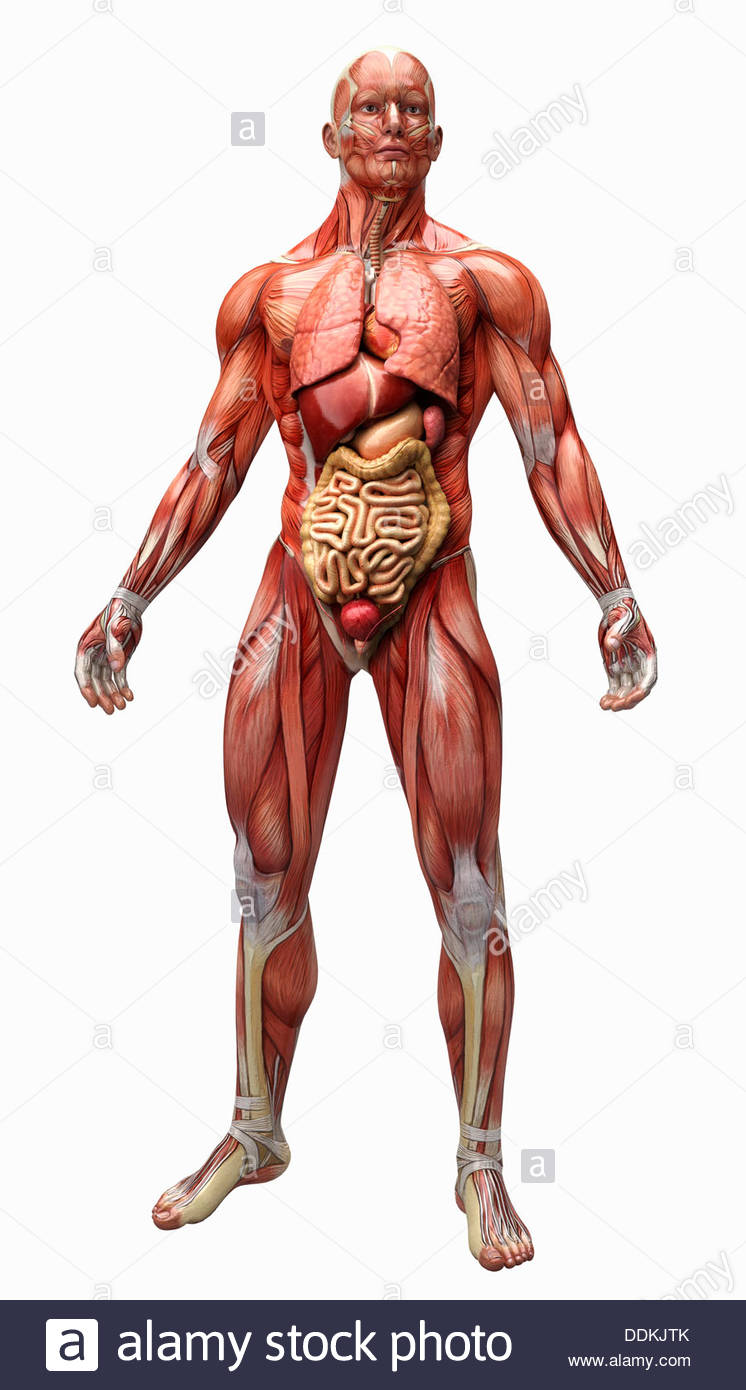 Human muscles, tendons and organs of anatomical model - Stock Image