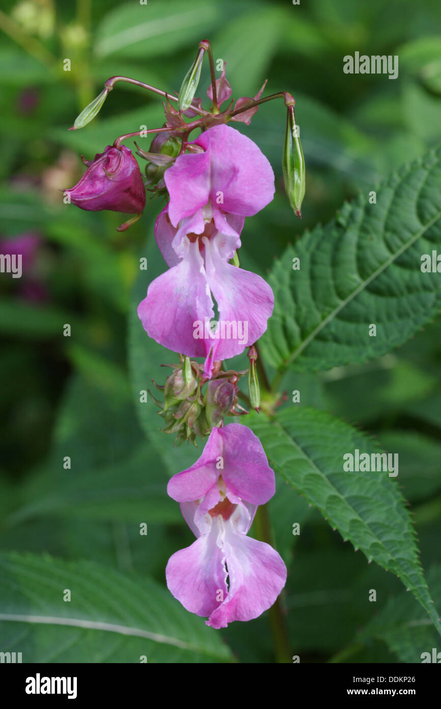 Himalayan Balsam, Impatiens glandulifera, Portrait of two flowers, Lea Valley, Essex, UK - Stock Image