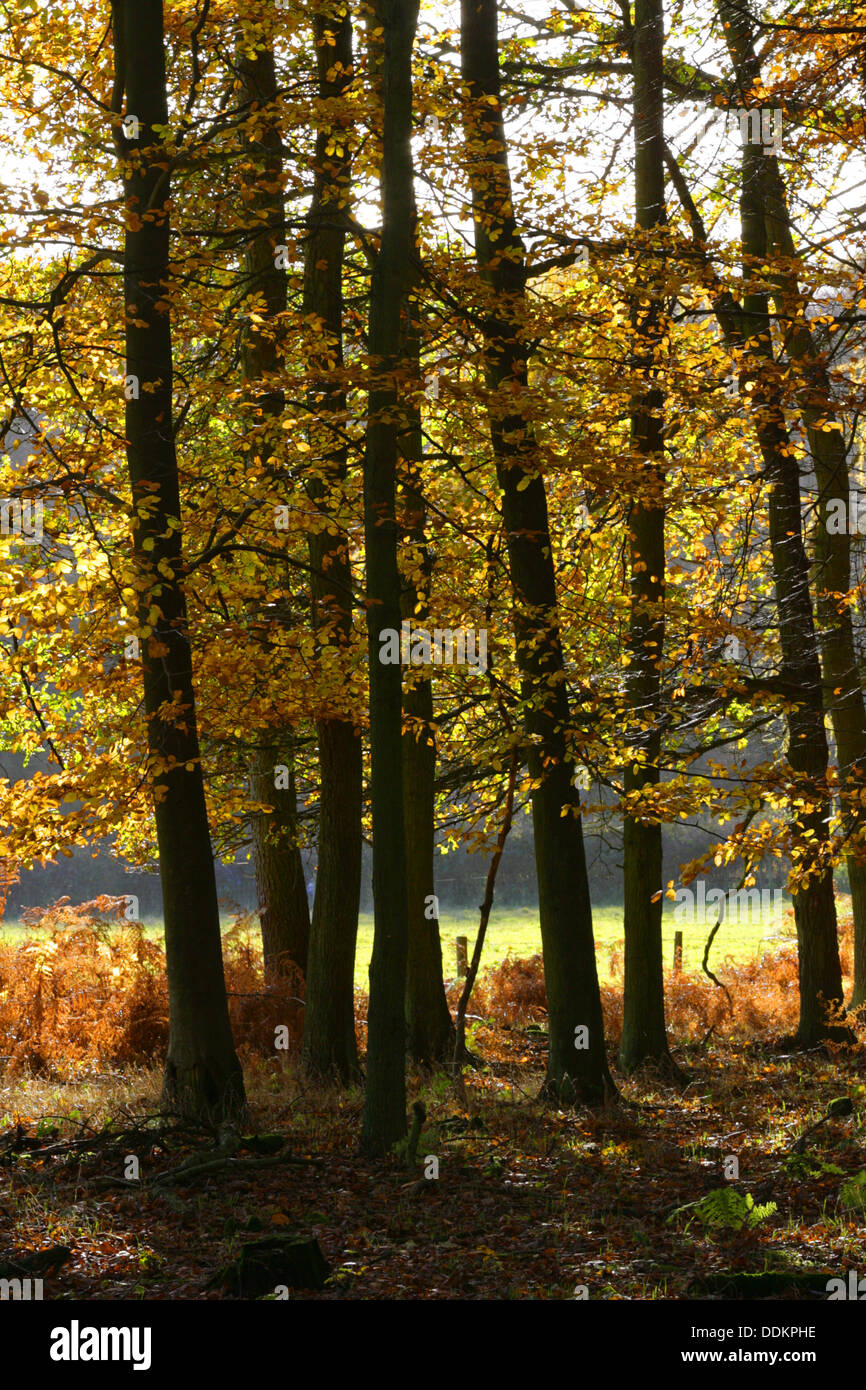 Beech Trees, Fagus sylvatica Woodland in autumn. Ashridge, Hertfordshire, UK - Stock Image
