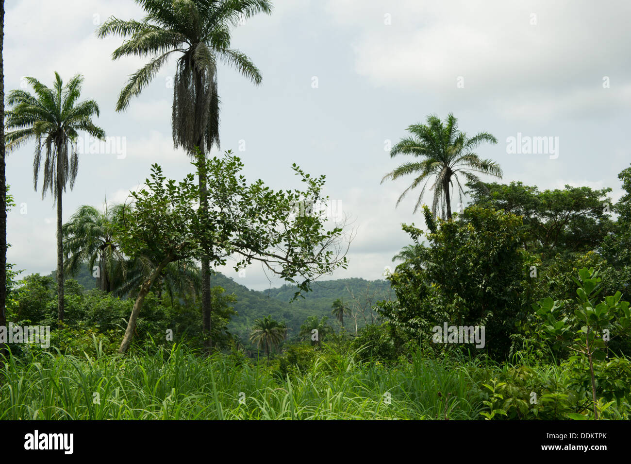 Luxuriant vegetation in Otutulu, Nigeria - Stock Image
